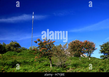 Rowan berries and the television transmitter mast at Caradon Hill, Cornwall. - Stock Photo