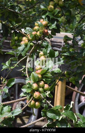 Cider apples ripening on an apple tree,Perry's Cider Mills,Dowlish Wake,Ilminster,Somerset. UK - Stock Photo
