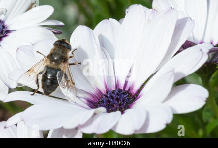 A Bee sitting on a white flower with a purple centre - Stock Photo