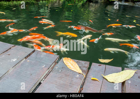 Leaves on the bridge and Koi fish are waiting for food, selective focused - Stock Photo
