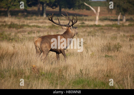 Red deers in Richmond Park during the rut season, London, UK - Stock Photo