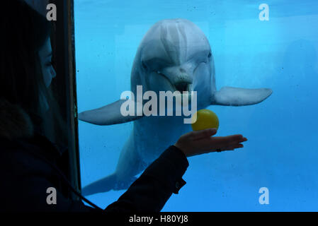 Madrid, Spain. 08th Nov, 2016. A specimen of Common bottlenose dolphin looks curiosly a ball at Madrid Zoo. Credit: - Stock Photo