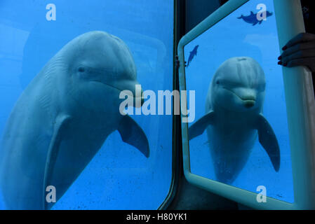 Madrid, Spain. 08th Nov, 2016. A specimen of Common bottlenose dolphin pictured looking itself in a mirror at Madrid - Stock Photo
