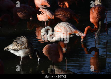 Madrid, Spain. 08th Nov, 2016. American flamingos pictured during sunset at Madrid zoo. The American flamingo, also - Stock Photo