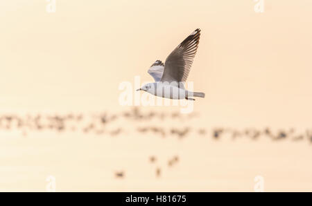 Seagull flying over blurry orange water from sunrise having group of seagulls floating on surface in morning at - Stock Photo
