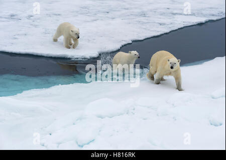 Mother polar bear (Ursus maritimus) with two cubs swimming and jumping over an open ice floe, Svalbard archipelago - Stock Photo