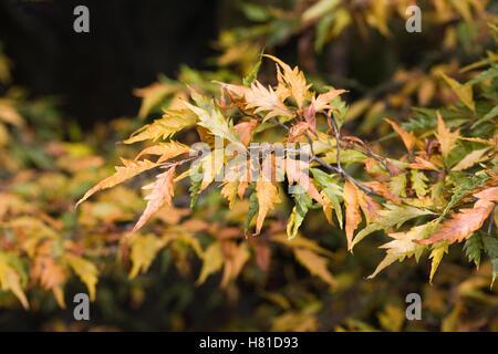 Fagus sylvatica 'Asplenifolia' leaves in Autumn. - Stock Photo