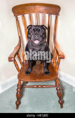 Happy, smiling black Staffordshire Bull terrier dog sitting on a wooden antique windsor chair. he looks strong but - Stock Photo