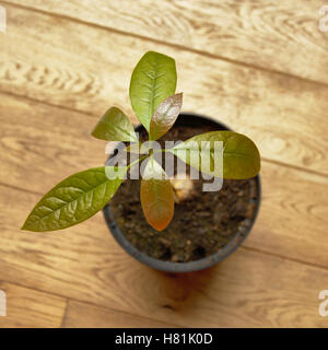Young avocado plant in a pot, view from above - Stock Photo