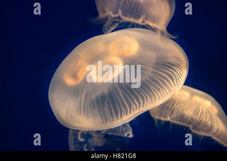 Closeup of glowing Moon Jellyfish (Aurelia Aurita) suspended in water with a soft bioluminescence (biological glowing - Stock Photo