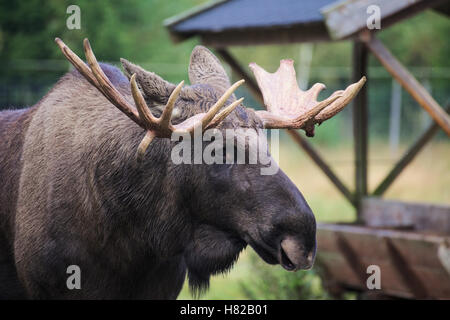 Head of an elk (Alces alces) with mighty antlers. - Stock Photo