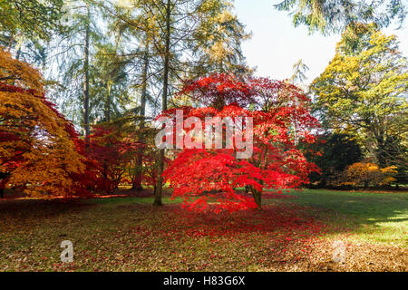 Red autumn Japanese maple (Acer palmatum) colours in Westonbirt Arboretum near Tetbury, Gloucestershire, UK - Stock Photo