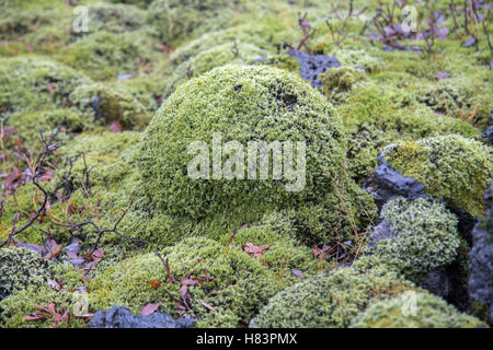 Wooly moss on volcanic rock in Eldhraun lava field Iceland - Stock Photo