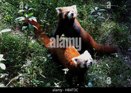 (161109) -- LALITPUR (NEPAL), Nov. 9, 2016 (Xinhua) -- Red pandas wait to be fed at the Central Zoo in Lalitpur, - Stock Photo