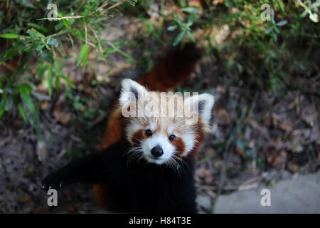 (161109) -- LALITPUR (NEPAL), Nov. 9, 2016 (Xinhua) -- A red panda waits to be fed at the Central Zoo in Lalitpur, - Stock Photo