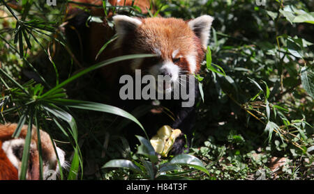 (161109) -- LALITPUR (NEPAL), Nov. 9, 2016 (Xinhua) -- A red panda eats an apple at the Central Zoo in Lalitpur, - Stock Photo