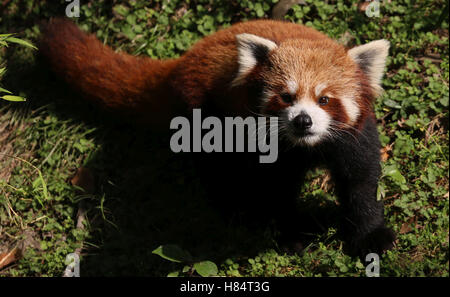 (161109) -- LALITPUR (NEPAL), Nov. 9, 2016 (Xinhua) -- Picture taken on Nov. 8, 2016 shows a red panda at the Central - Stock Photo