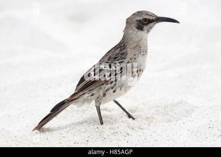 Espanola Mockingbird (Mimus macdonaldi), also known as Hood Mockingbird, on Galapagos beach