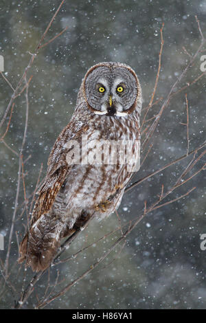 Great grey owl (Strix nebulosa) perched in a tree in winter in Canada - Stock Photo