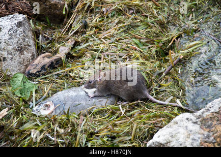 Wild, common brown rat, (Rattus norvegicus) feeding on a dead fish - Stock Photo