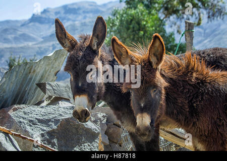 Two donkeys in a donkey shed - Stock Photo