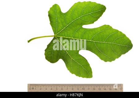 Feige, Echte Feige, Feigenbaum, Feigenblatt, Ficus carica, Fig, Figuier, Figuier comestible, Figuier commun. Blatt, - Stock Photo
