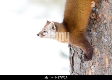 Pine marten climbing down tree in Algonquin Park in winter in Canada - Stock Photo