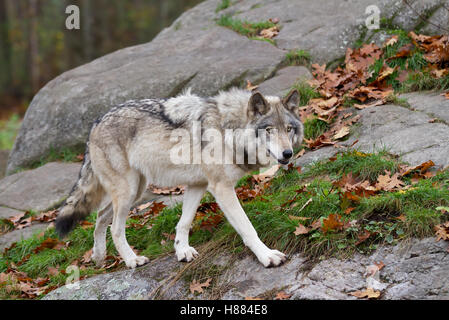 Timber wolf or Grey Wolf (Canis lupus) walking on rocks in autumn in Canada - Stock Photo