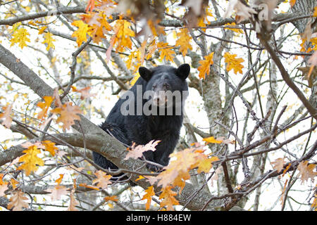 Black bear in a tree in autumn in Canada - Stock Photo