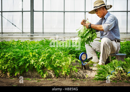 A man working in a greenhouse harvesting a commercial crop, the mizuna vegetable plant. - Stock Photo