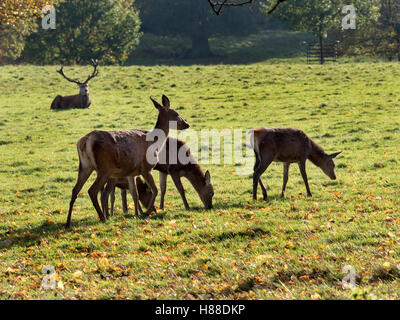 Group of Red Deer with Stag Watching in the Distance at Studley Royal Deer Park in Autumn Ripon Yorkshire England - Stock Photo