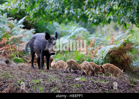 Female wild boar with piglets in the Forest of Dean - Stock Photo