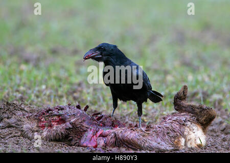 Common raven / northern raven (Corvus corax) scavenging on carcass of perished roe deer (Capreolus capreolus) in - Stock Photo