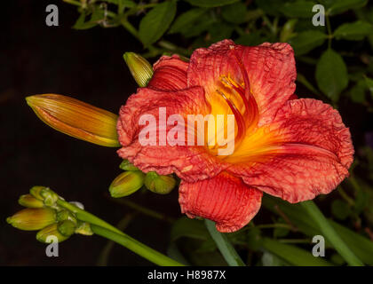 Spectacular vivid red flower with yellow throat & buds of daylily 'Bangkok Belle' on black background - Stock Photo