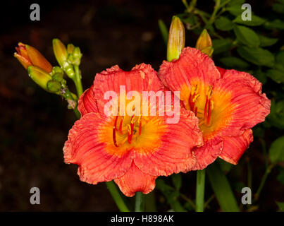 Two spectacular vivid deep orange/red flowers with lighter orange throat & buds of daylily 'Bangkok Belle' on black - Stock Photo