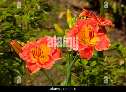 Cluster of vivid deep orange/red flowers with lighter orange throat & buds of daylily 'Bangkok Belle' against green - Stock Photo