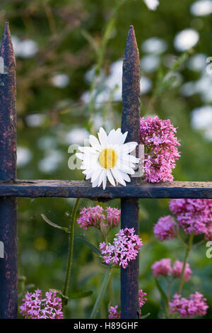Centranthus ruber and Leucanthemum vulgare growing in front of an old garden gate. - Stock Photo