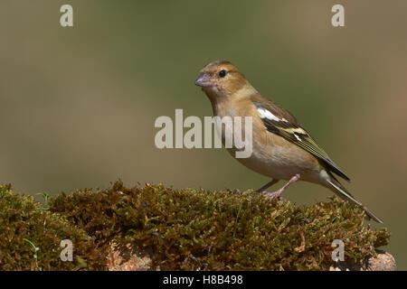 Common Chaffinch (Fringilla coelebs), Female, Benalmadena, Malaga, Andalusia, Spain - Stock Photo