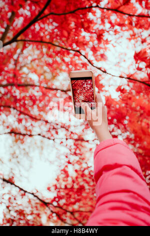 Taking a photo of brilliant red autumnal tree with smartphone - Stock Photo