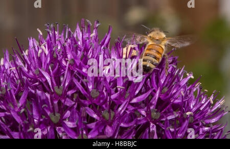 Close up of a honey bee extracting nectar from a medium purple blossom of an Allium flower using a shallow depth - Stock Photo