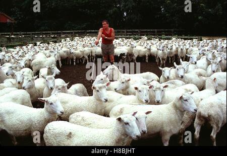 Schaffarm in Neuseeland. Key: New Zealand, Schafzucht, Schaf-Farm ...   {Herde 86}