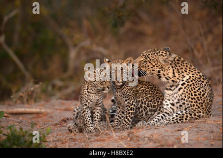 Adult female leopard (Panthera pardus) grooming her two cubs - Stock Photo