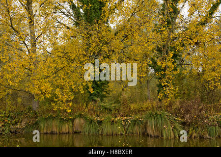 Black sedge tussocks along the bank of the Kennet & Avon Canal with poplar trees in autumn colour - Stock Photo