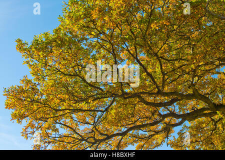 Green and gold leaves of an English oak tree against a blue sky in autumn, October - Stock Photo