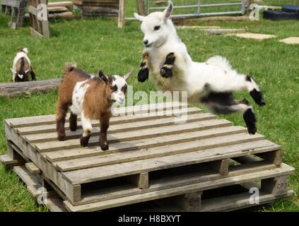 So glad to be alive. Alice the goat kid in mid air. - Stock Photo