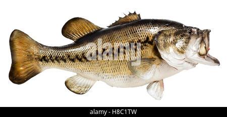 Mounted citation largemouth bass. Isolated. - Stock Photo