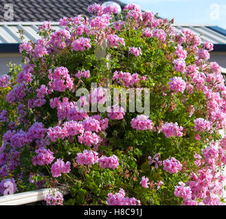 Beautiful  double candy  pink  flowers of  geranium species covering a white painted wooden  fence  in late spring - Stock Photo