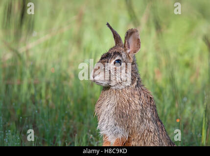 Rabbit standing in a spring meadow in Canada - Stock Photo