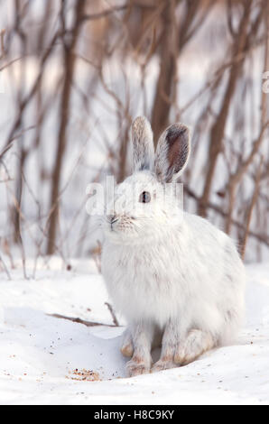 Snowshoe hare or Varying hare (Lepus americanus) in winter in Canada - Stock Photo