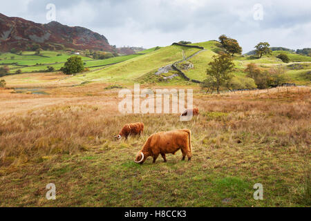 Highland Cattle Grazing in Little Langdale in the Lake District, UK. - Stock Photo